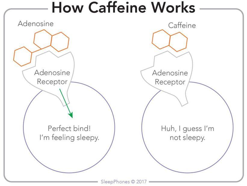 caffeine and adenosine.jpg