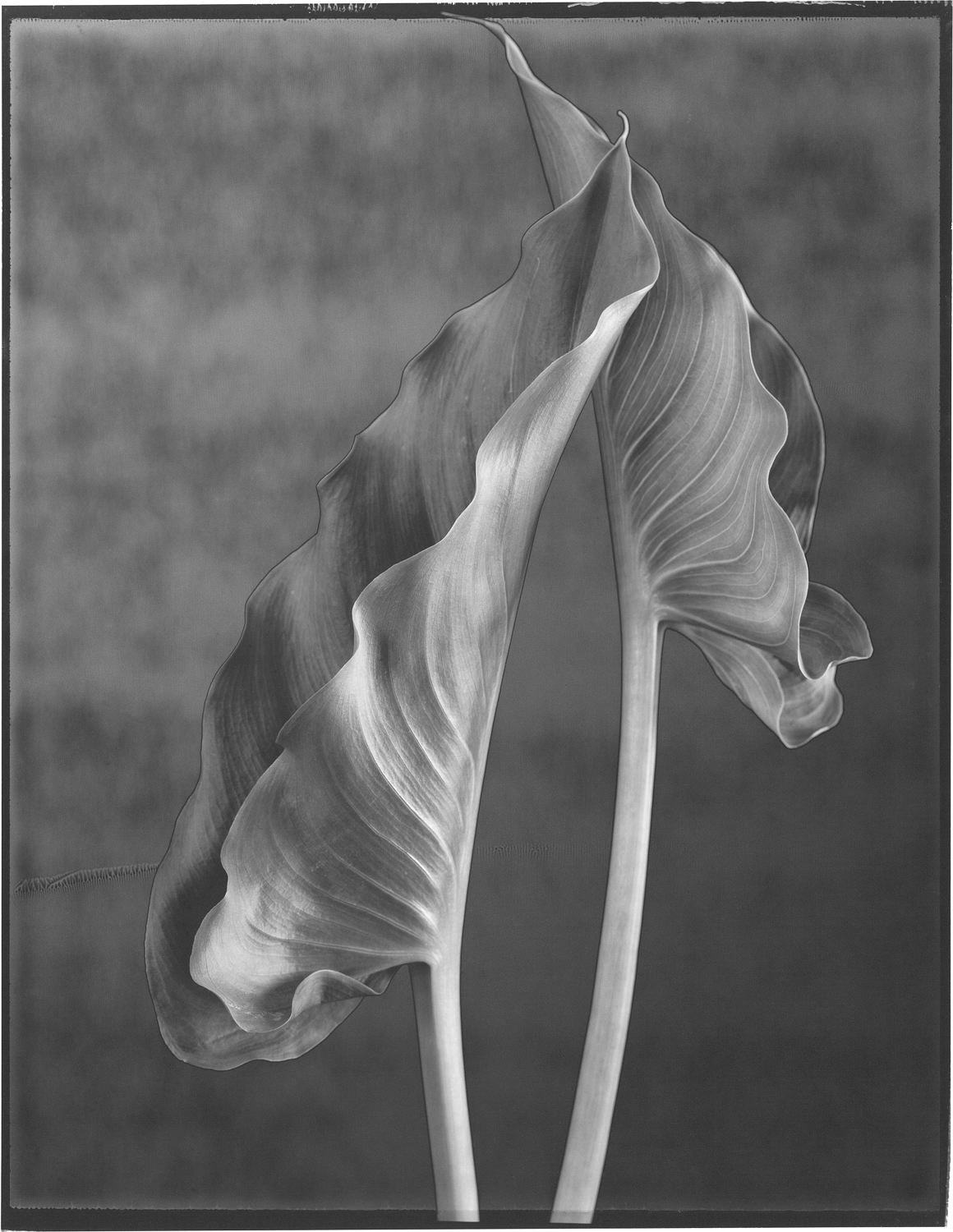 Two Calla Leaves
