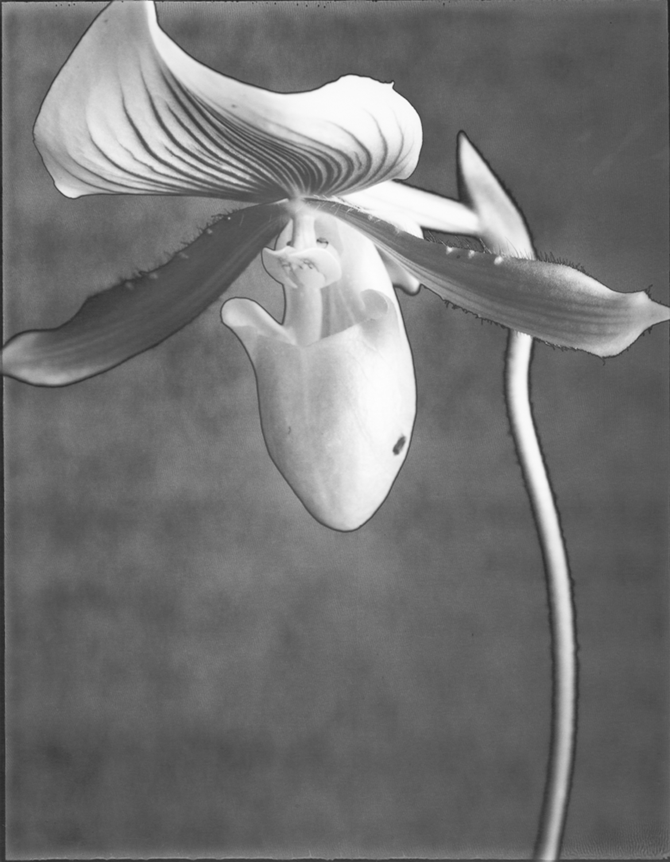 Orchid Alma Gavaert
