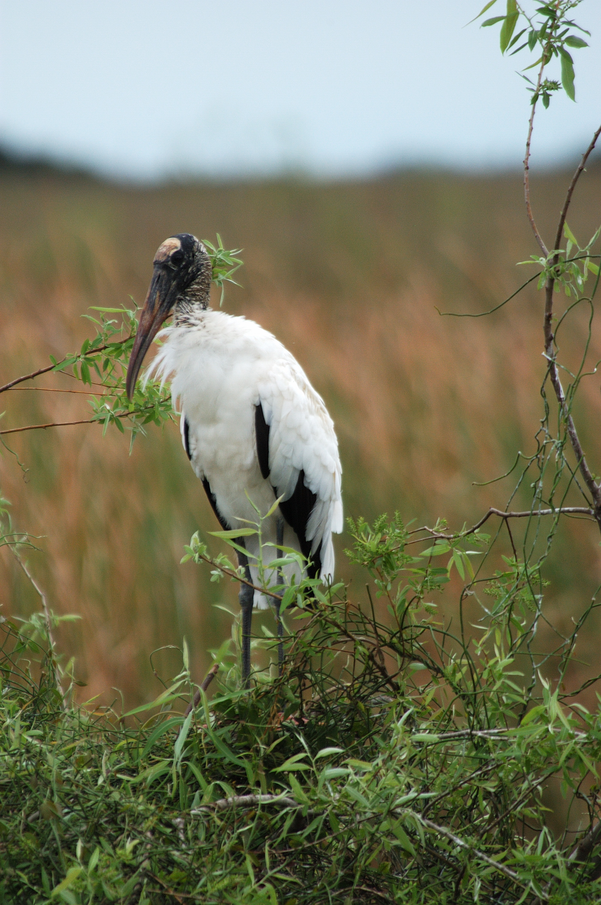 A rare wood stork at the Everglades National Park; conservation efforts have increased their population and I seem to see one on almost every visit to South Florida now.