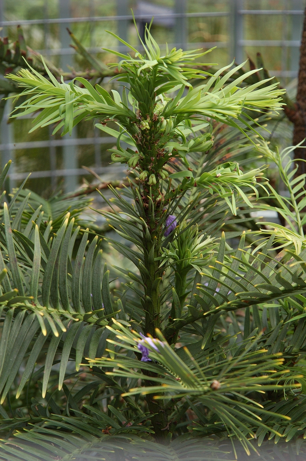 The Wolemi Pine