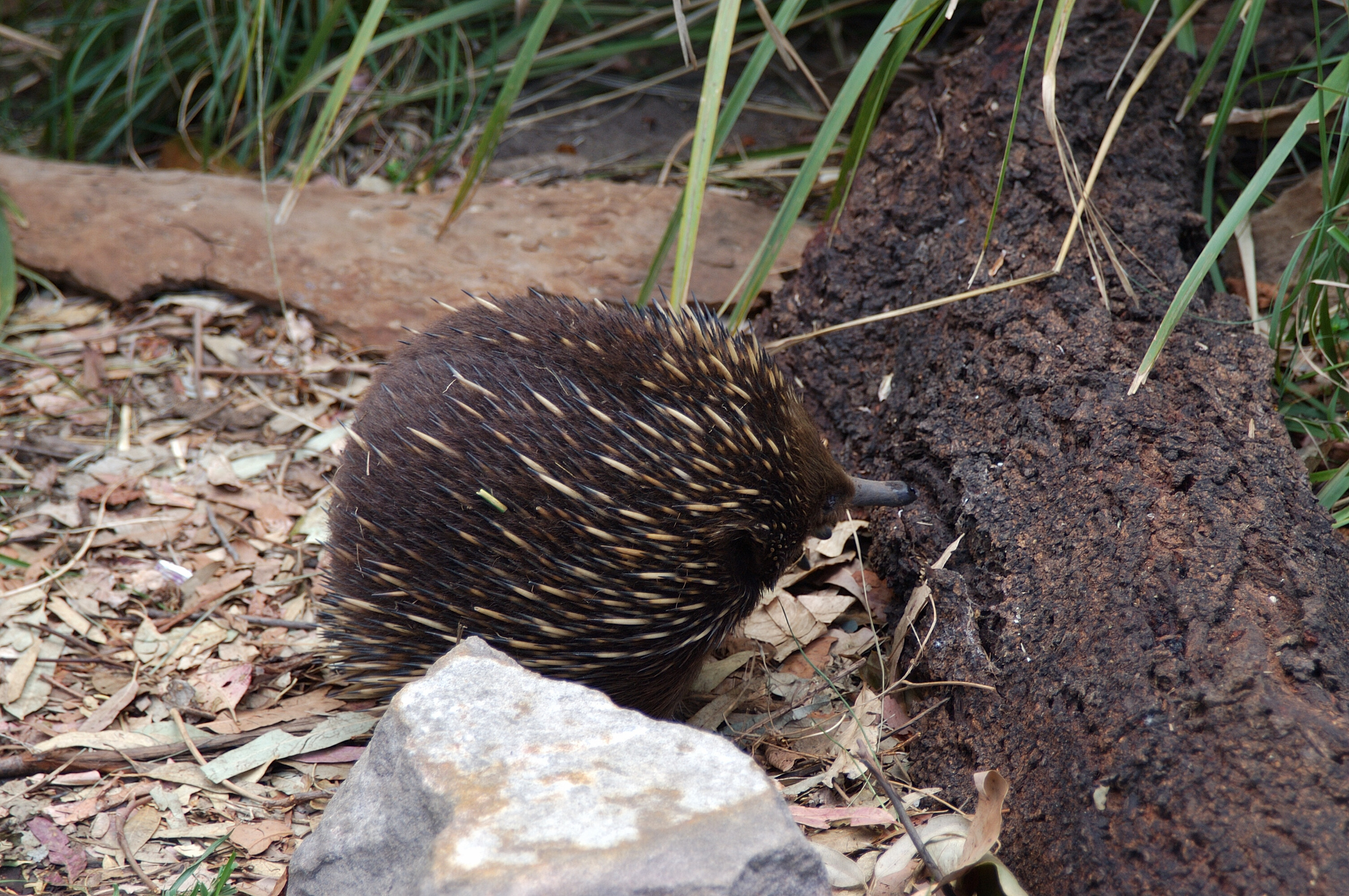 The sweet little echidna became the mascot for my amazement of the varied flora and fauna in Australia!