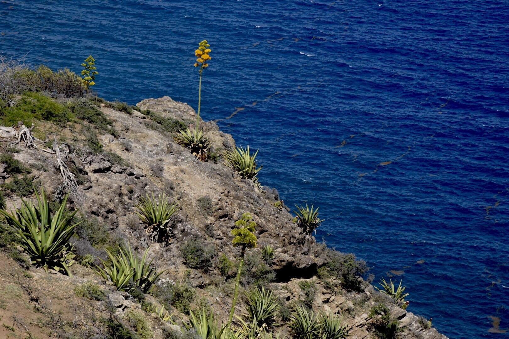 The dramatic century plant on the coast of Antigua