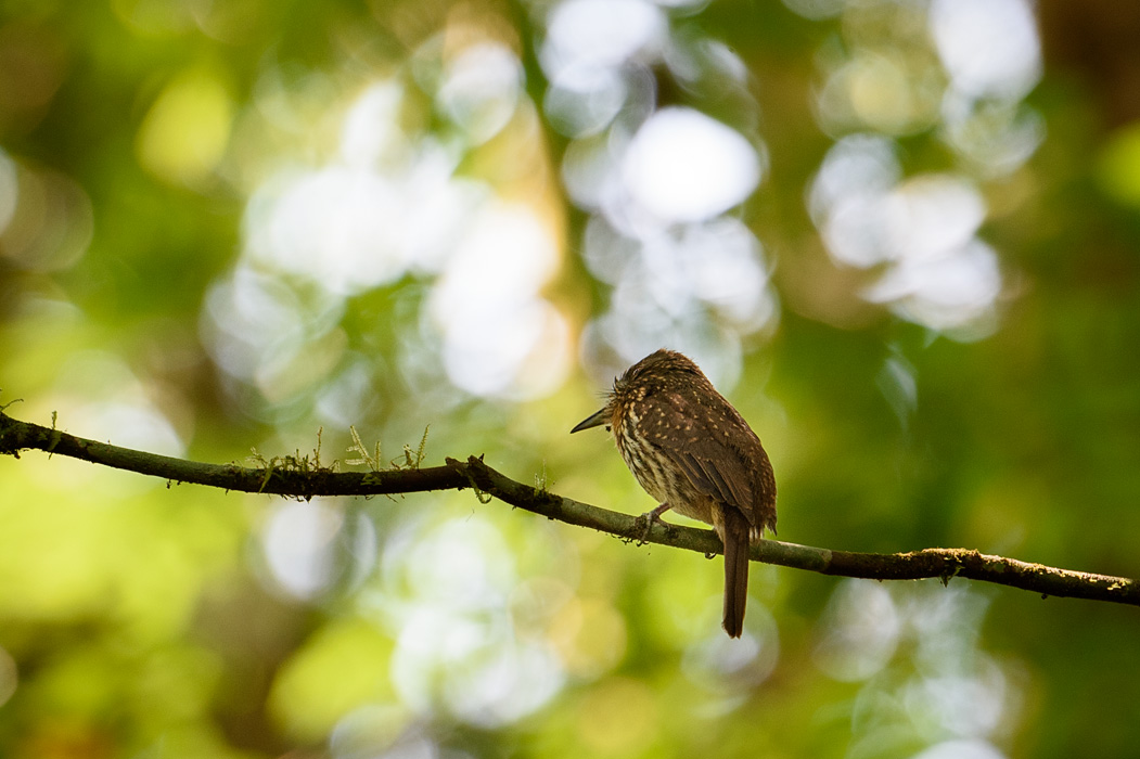 This little bird had one of the best names- a whiskery puff bird.