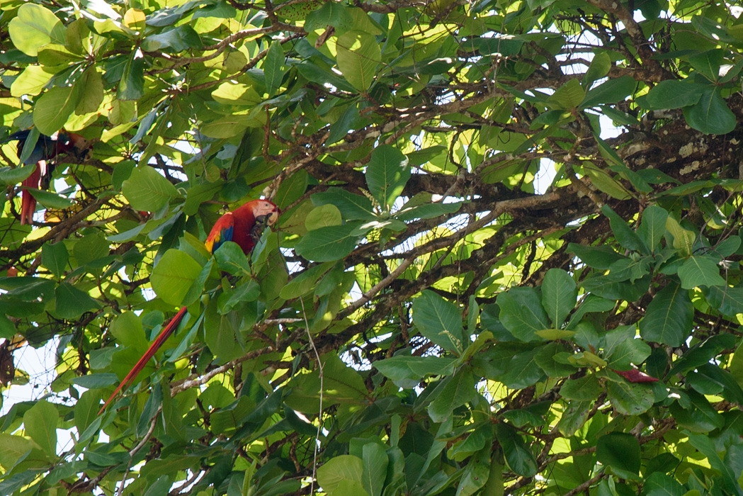 We spotted one of the showiest birds in Costa Rica right in town!
