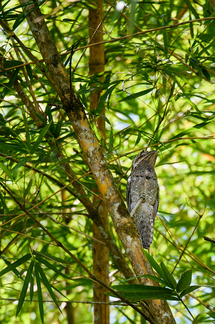 This amazing bird is a nocturnal Stick Bird and it sleeps camouflaged as a broken tree branch all day