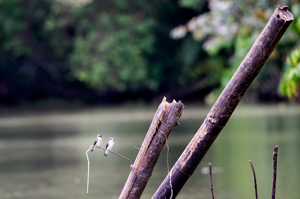 A pair of tiny Mangrove Swallows