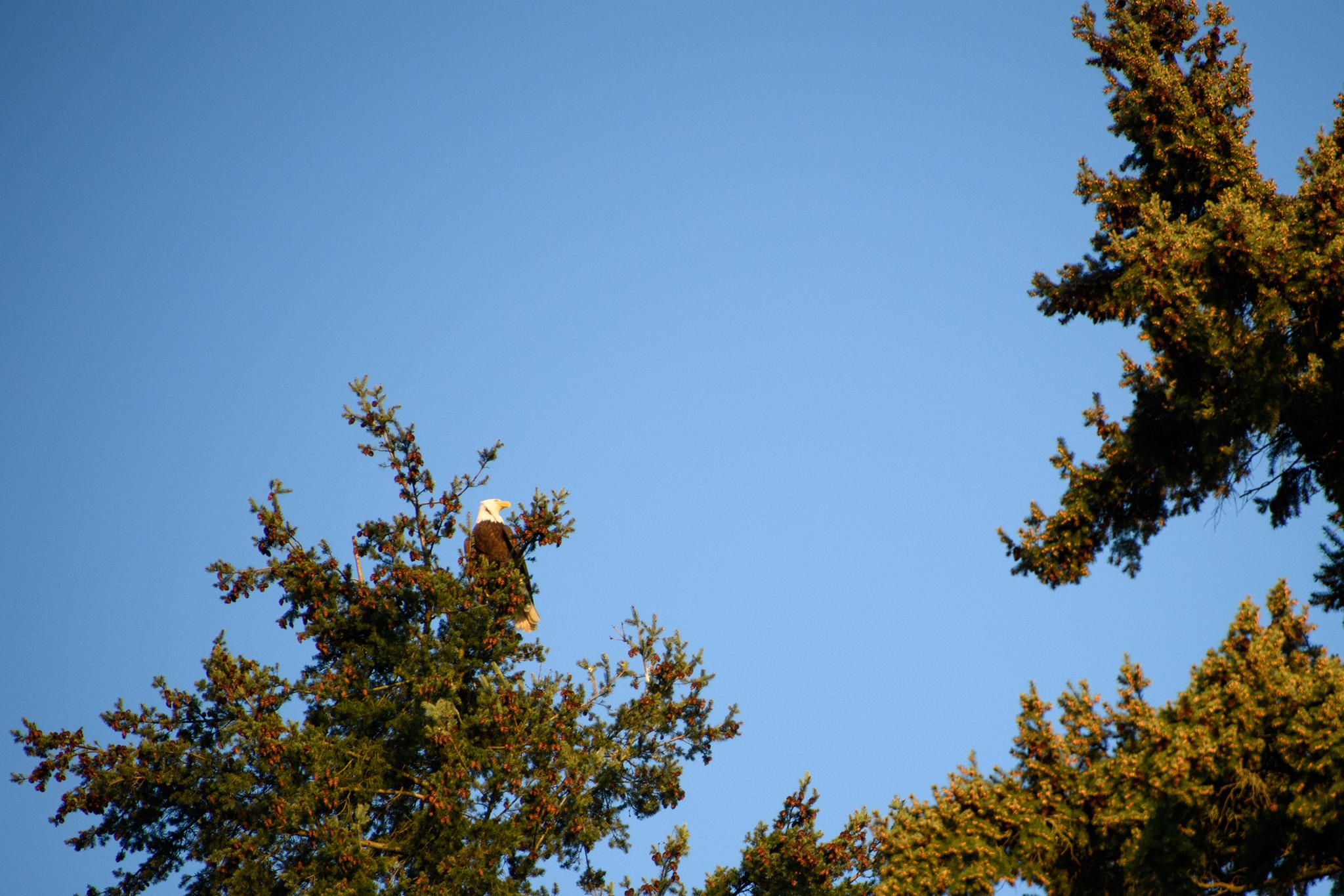 A bald eagle in a pine high above Lake Washington