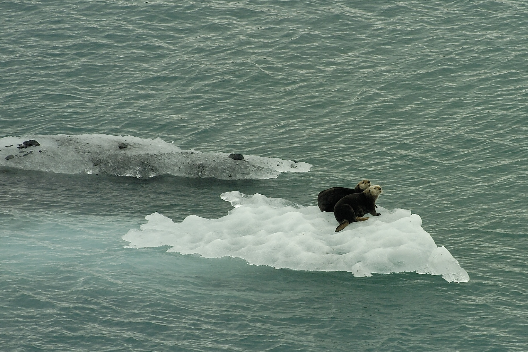 One of my favorite wildlife sightings of all time- adorable sea otters riding on an iceberg!