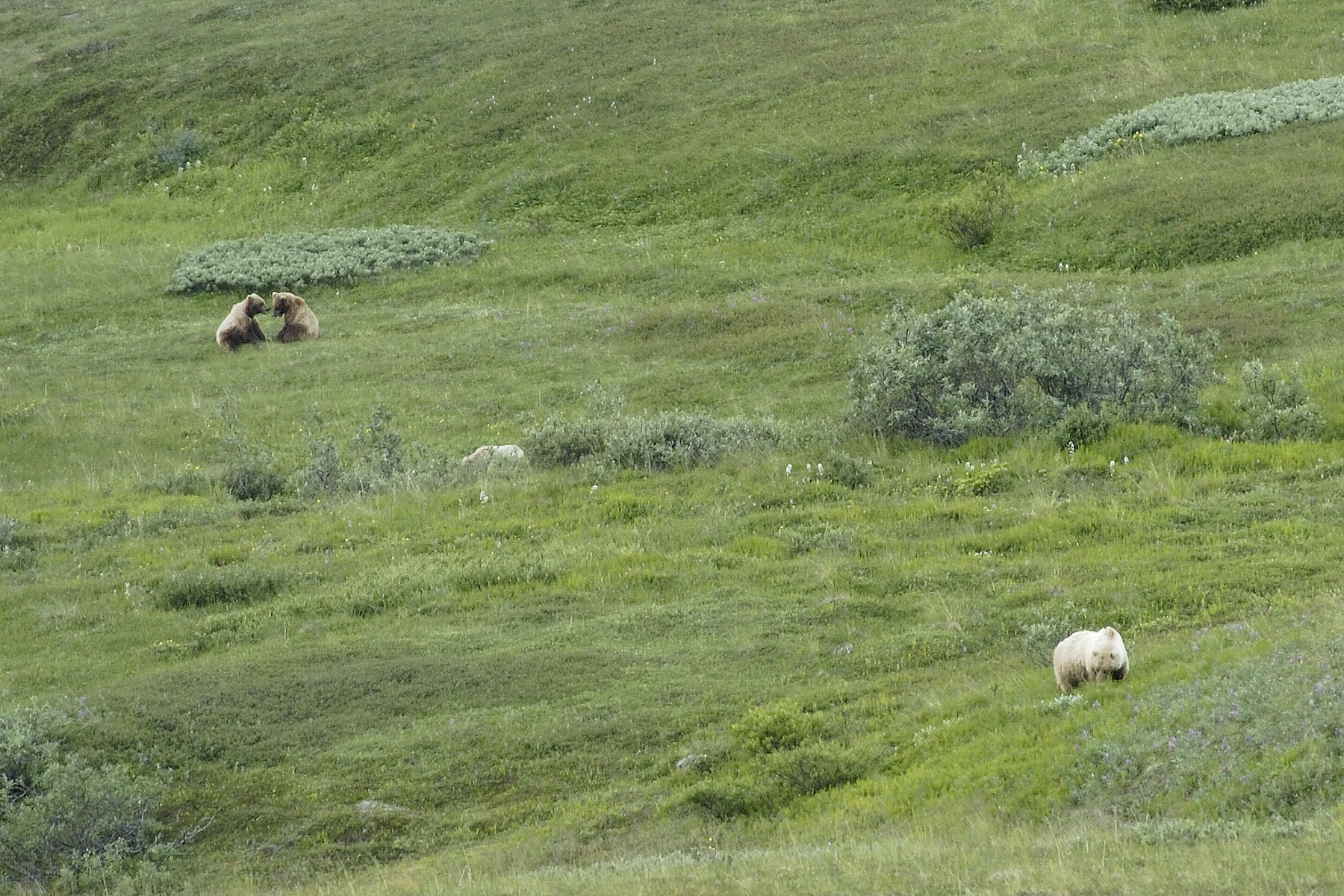 "A mother bear and her two yearling cubs entertained us with their mock wrestling, until mom told them to"" hustle up"", and they lumbered up to join her."