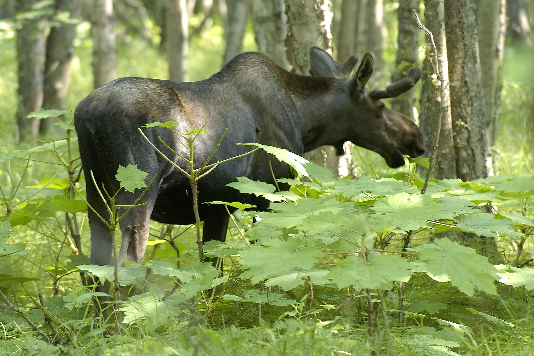 We were terribly distracted by the moose along the trail, which were browsing just off the trail, but the locals rode, strode, and bladed by without a sideways glance!