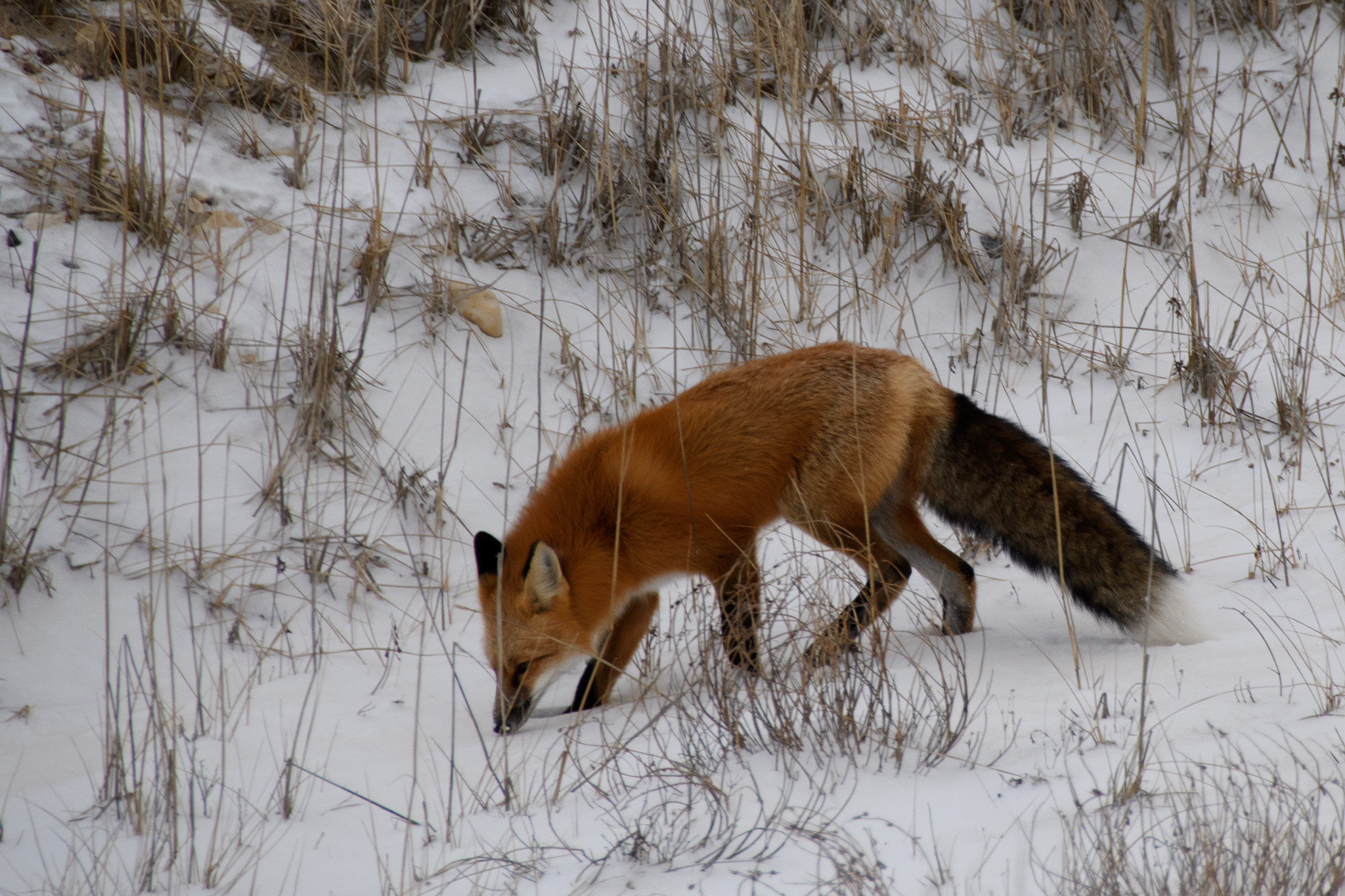 A red fox with a spectacular fluffy tail, snuffled here and there unconcerned about our bus of observers on the road.