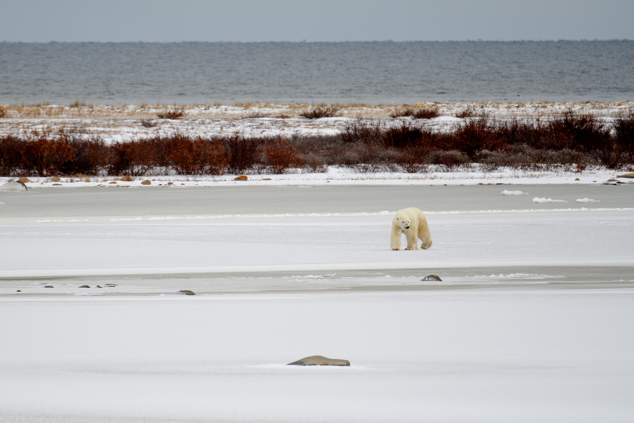 A large male heads across the icy lake.