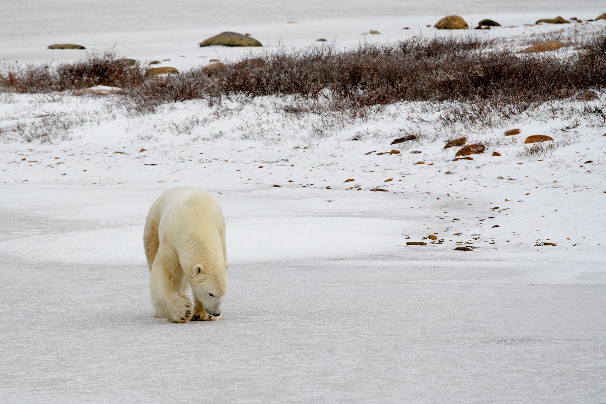 The male bear continued to follow his nose towards the female bear.