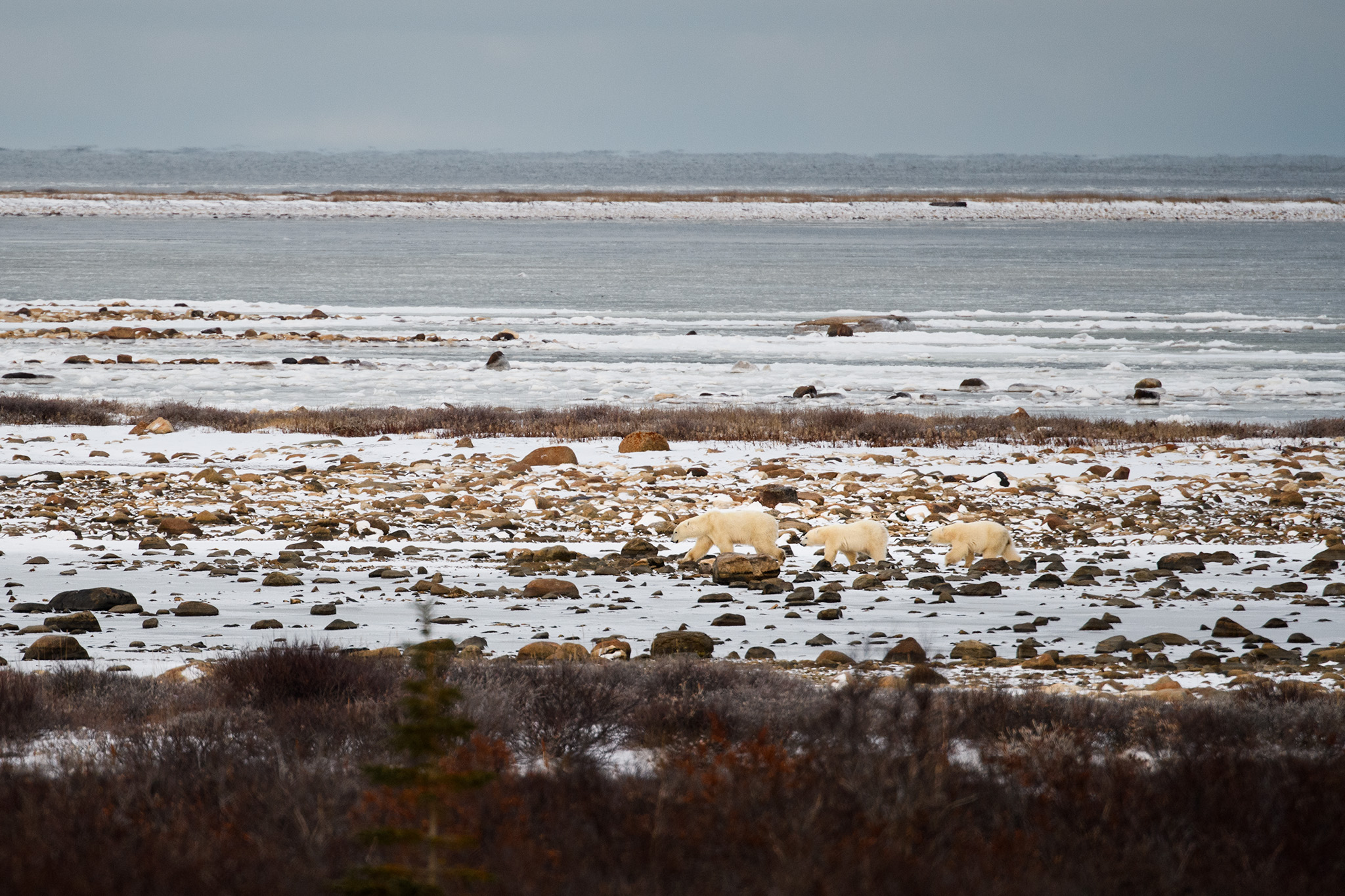 A mother and her cubs wait for the ice to freeze on Hudson Bay to begin hunting seals.