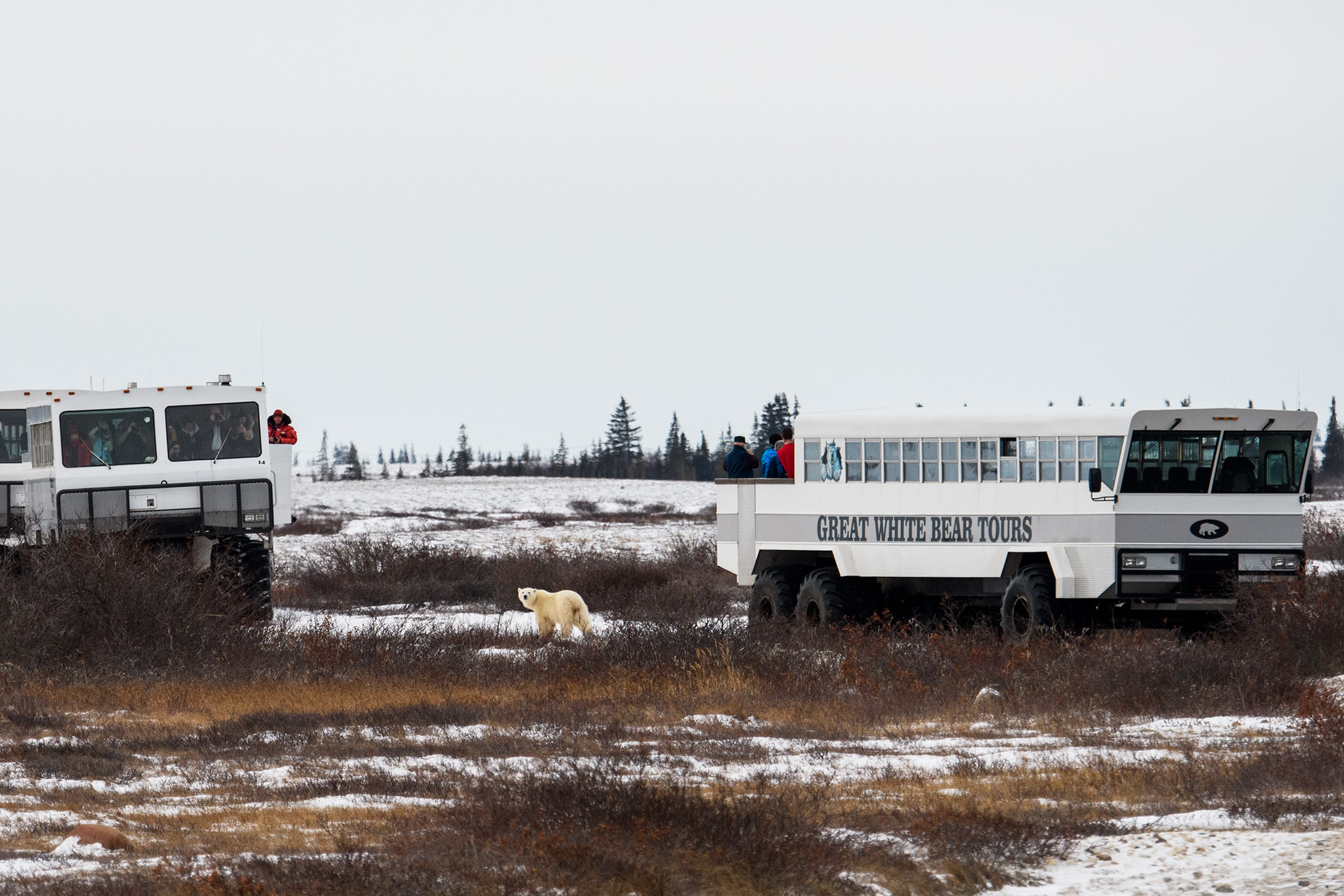 Special Polar Rovers or Tundra Buggies are purpose built observation vehicles that are allowed to follow several trails in the Wapusk National Park where bears gather for several weeks waiting for the Hudson Bay to freeze over. Guests would go out each day for excellent opportunities to see the tundra and boreal forest landscapes and wildlife!