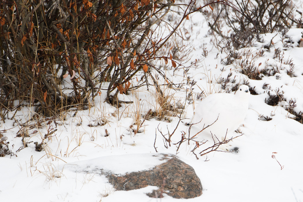 Can you spot the animal?  A ptarmigan is barely visible in the snow!