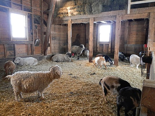 A petting barn full of domesticated animals is the site for farming activities at the resort.