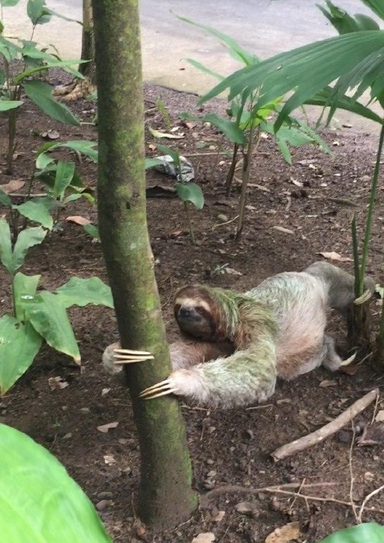 Marianne's son spotted something rarely seen, a sloth headed to the ground, which they do to defecate.