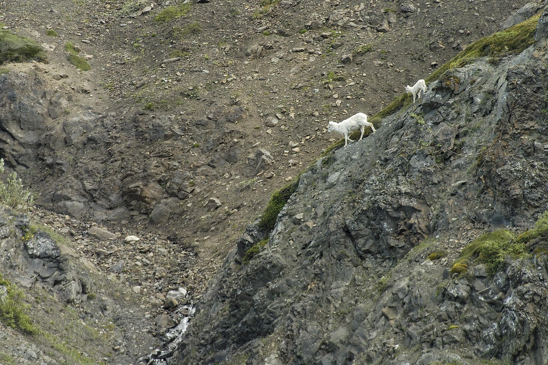 "Like this Dahl sheep in Denali National Park, my adventurous brothers likes to hit the trail wit his ""kids"", and on and off the mountain, he will do all the leg work himself!"