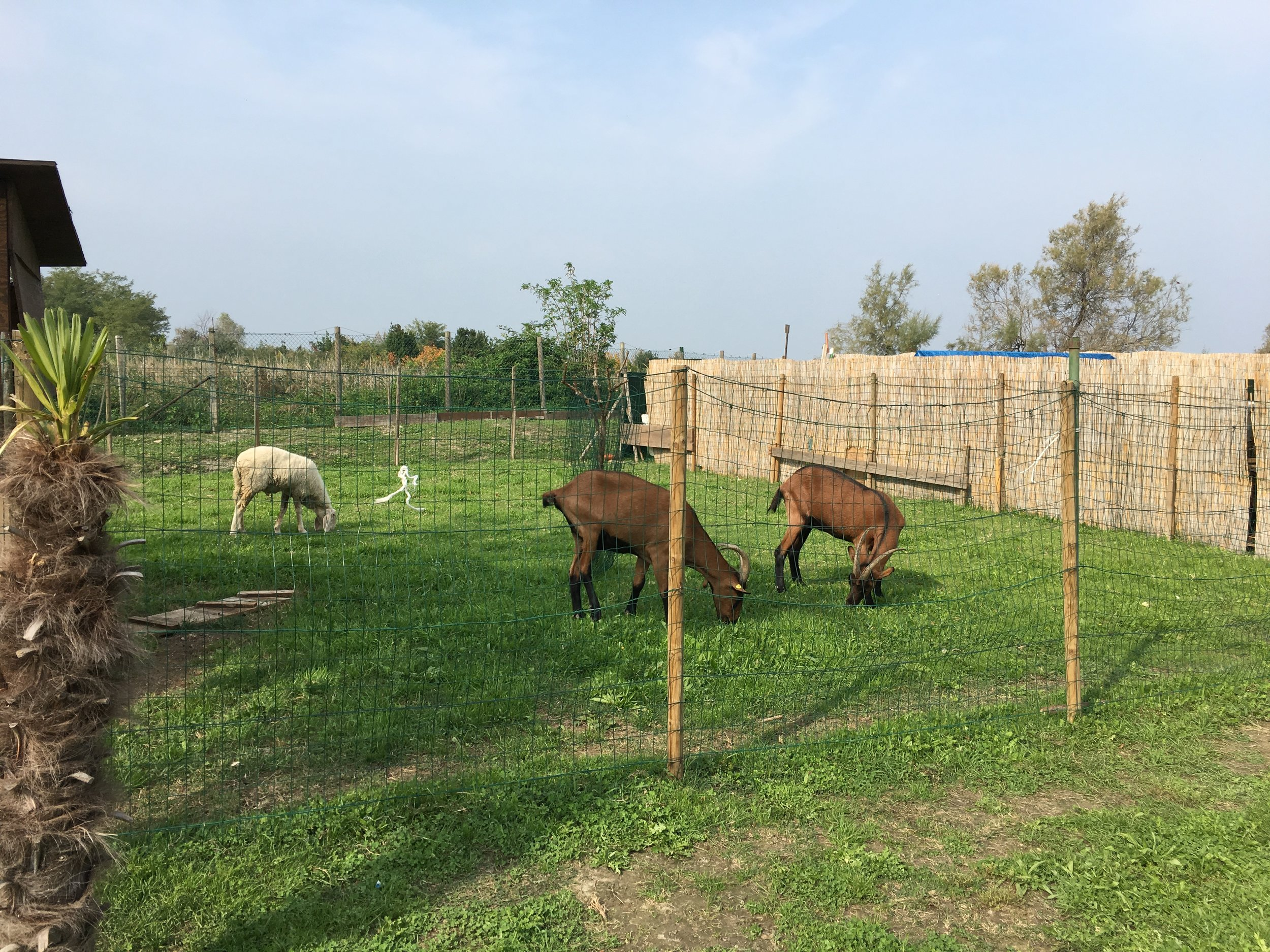 Goats grazing at a tavern in Torcello (photo K Klofft)