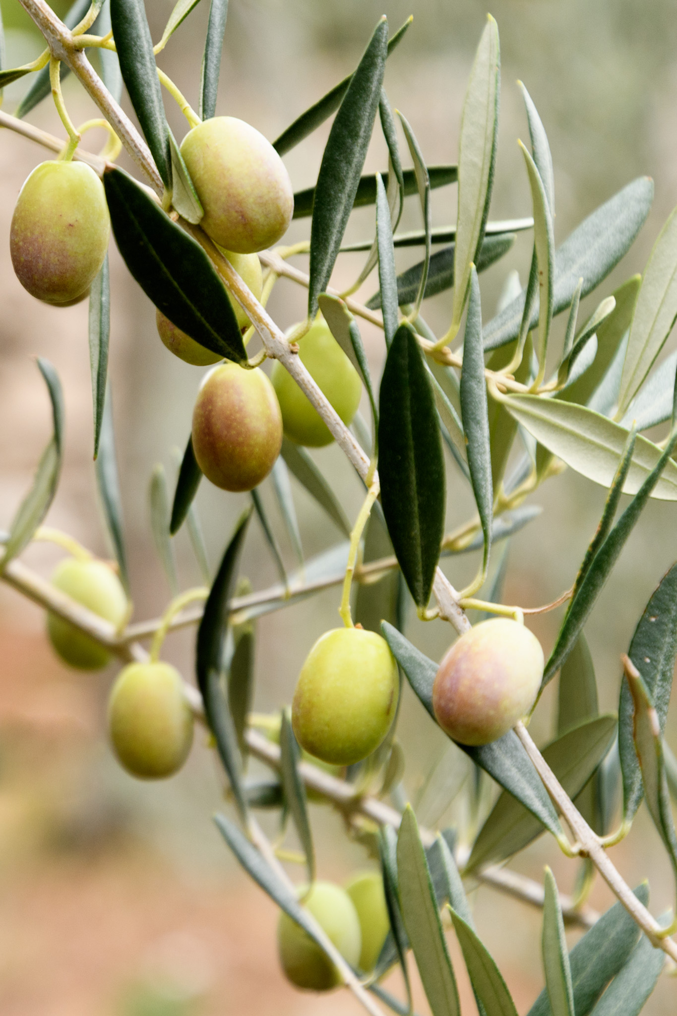 The trail along the beach also has a small demonstration garden of local agricultural products including these olives!  I never knew that both green and black olives grow on the same tree, the only difference is the level of ripeness!