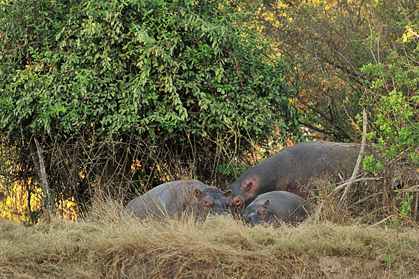 Hippos settling into river bank