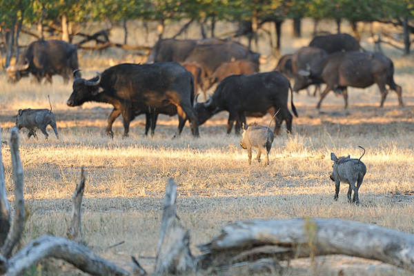 Cape Buffalo and warthog grazing together