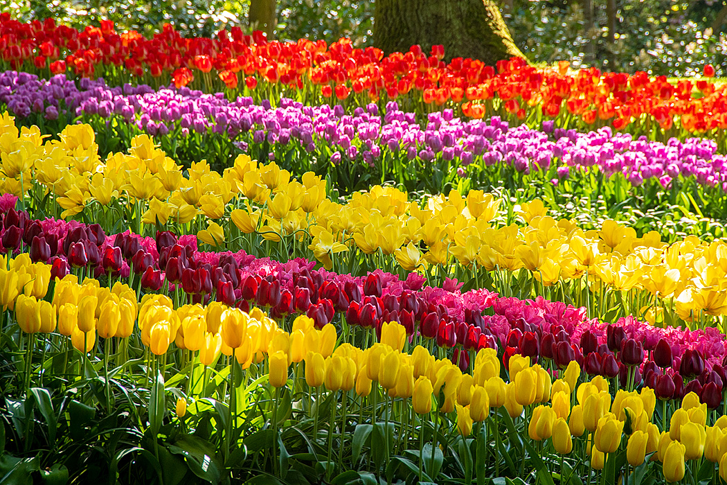 A variety of tulip heights create a colorful border along the paths