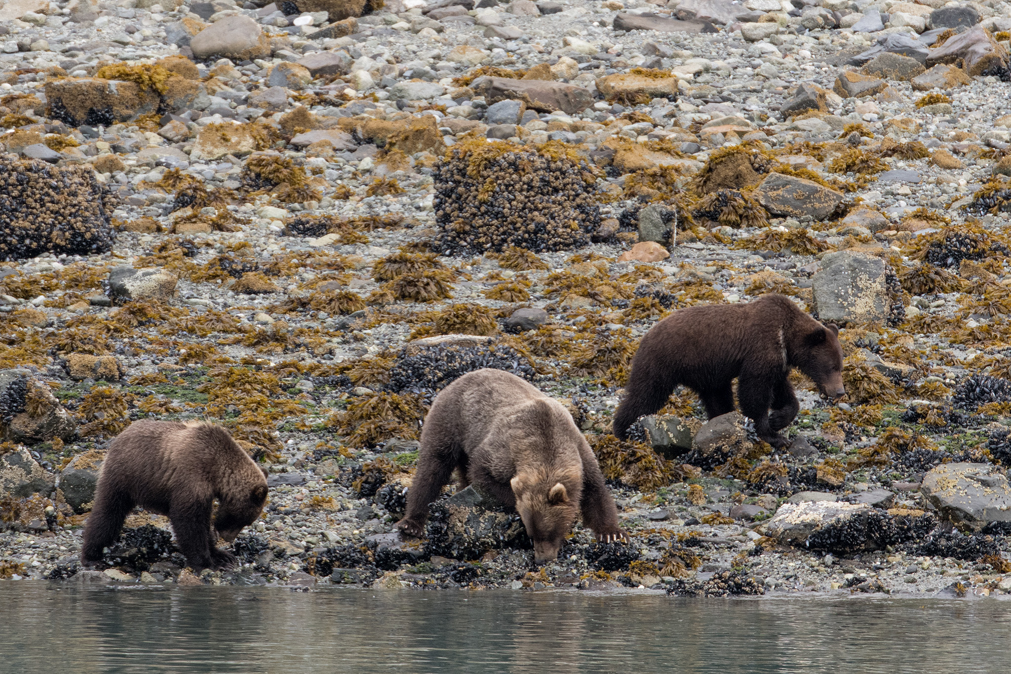 A brown bear mother and cubs looking for food under the rocks along the shore.