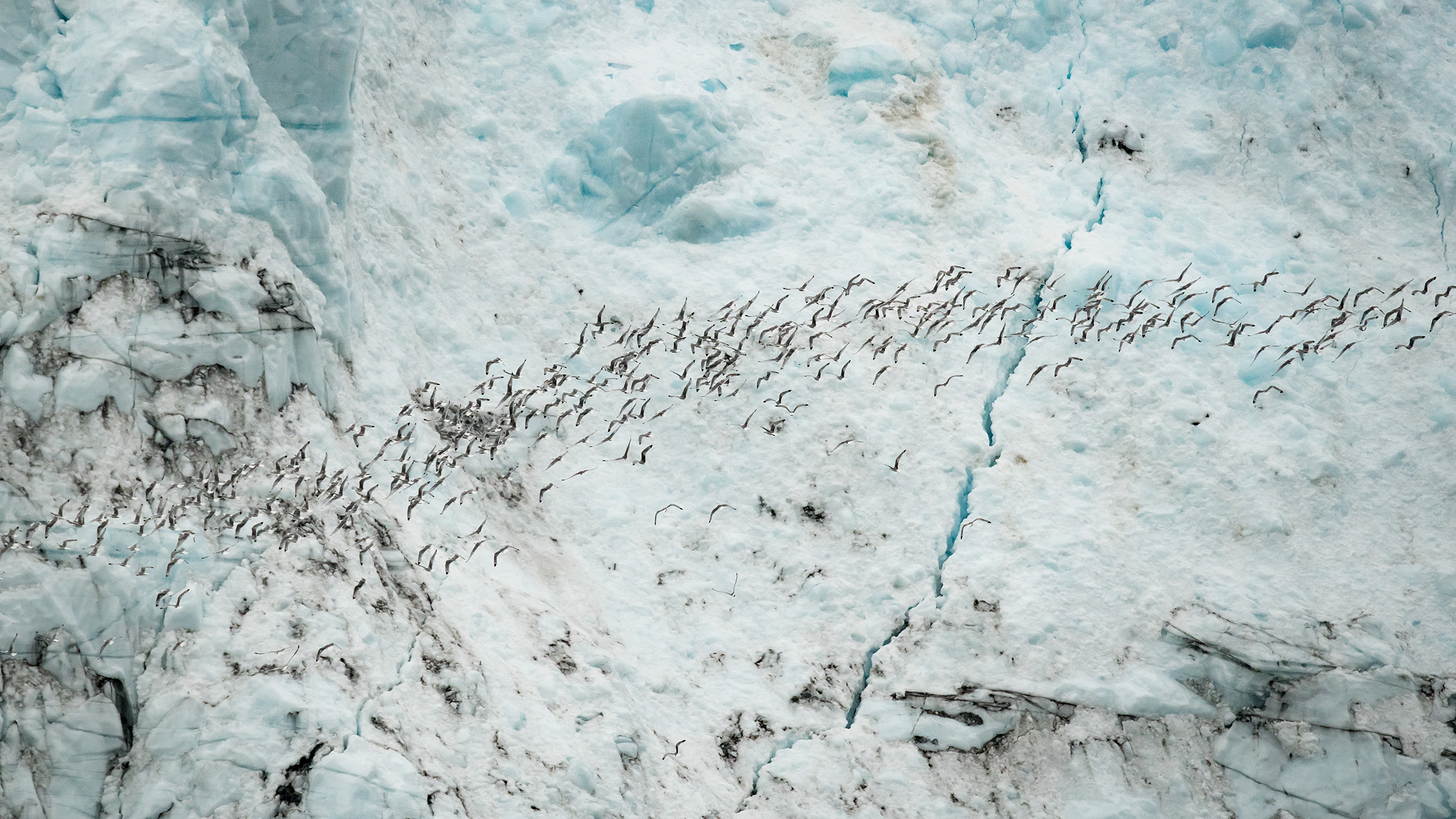To get a sense of scale…a huge flock of gull sized Kittiwakes are dwarfed by just a small section of the Margerie Glacier.