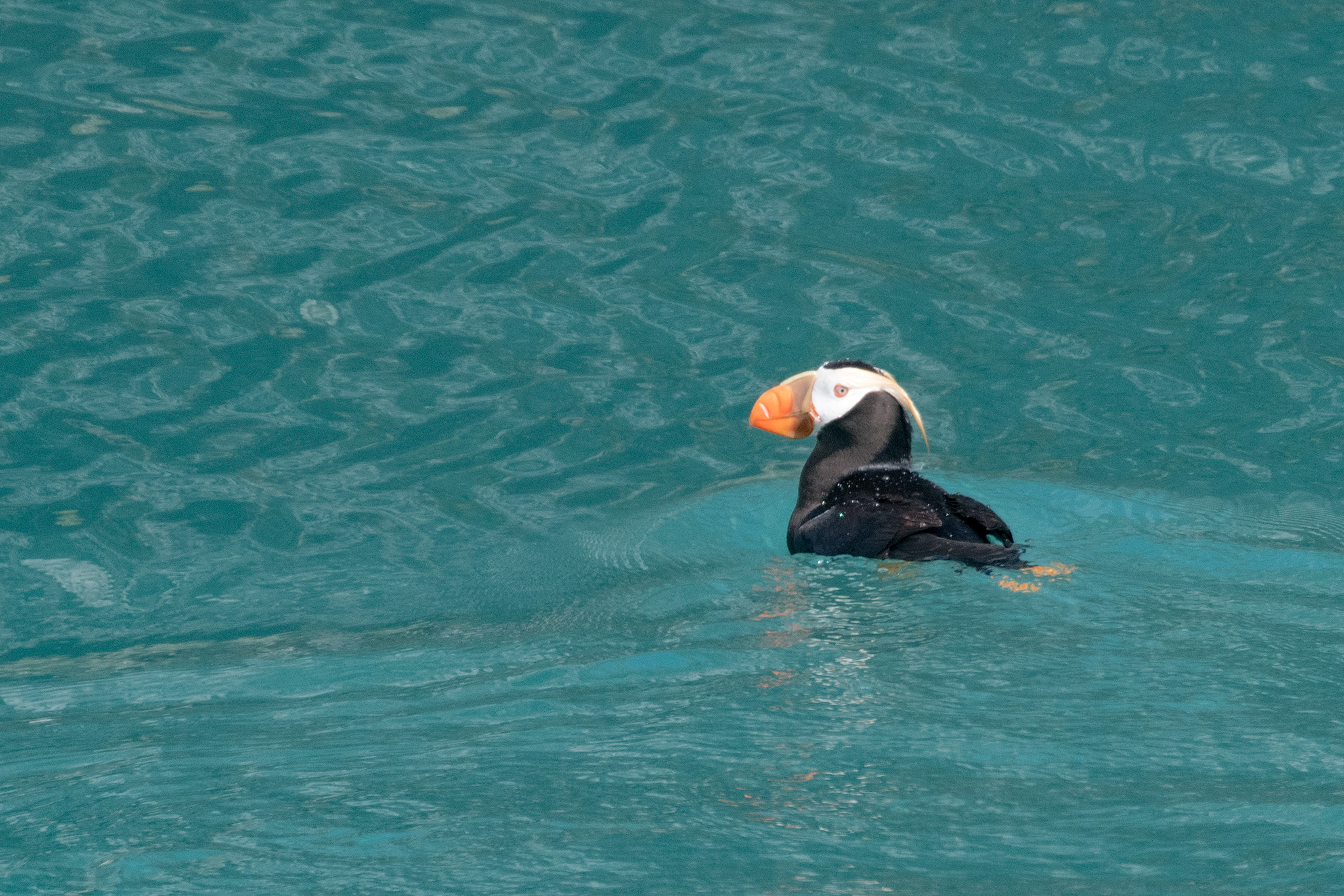 A tufted puffin