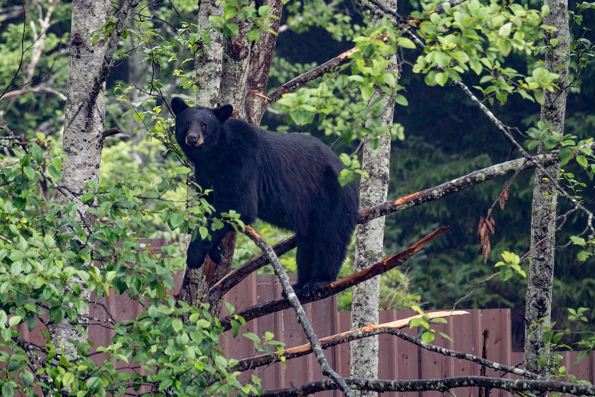 Smokey climbs a tree to get a better look down on the coastal brown bears in another enclosure.