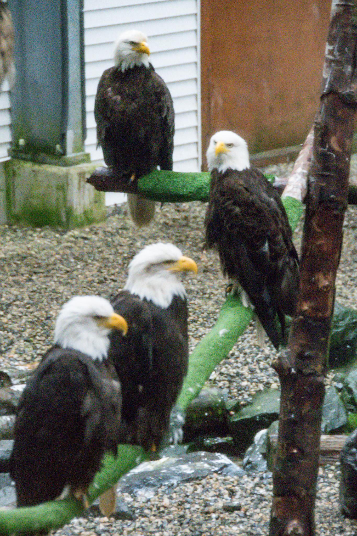 Dozens of eagles live in the Flight Training Center for a short time after being treated to strengthen their wings and prepare for life outside again. The windows are all soundproof and one way glass so birds don't get habituated to people. The roof is open allowing them to experience the elements and rehabilitators provide food in a way that allows them to hunt and seek food rather than being hand fed.