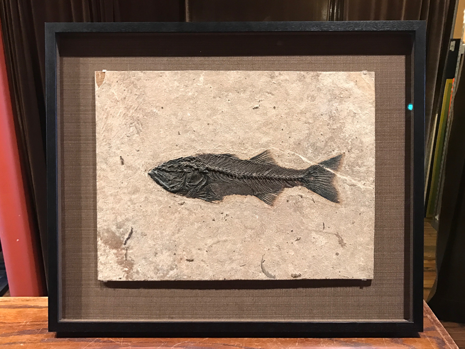 Fish fossil mounted on fabric backing and shadowboxed in ebony walnut.