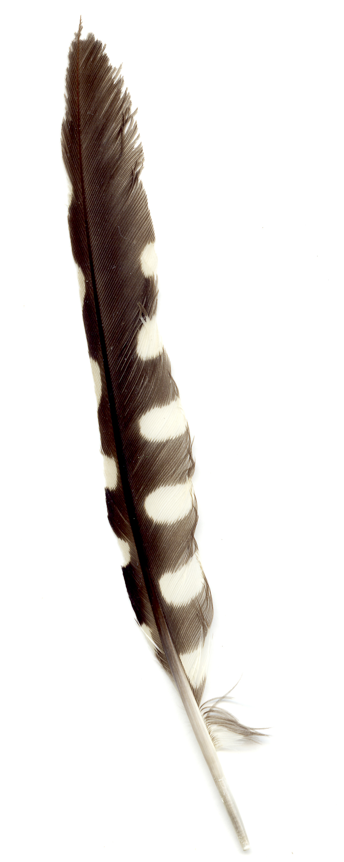 06_woodpecker_feather_brown.jpg