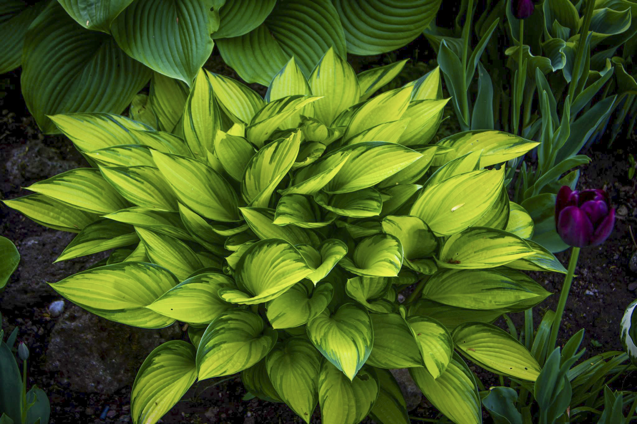 Hosta 'June Fever' in einem Kundengarten