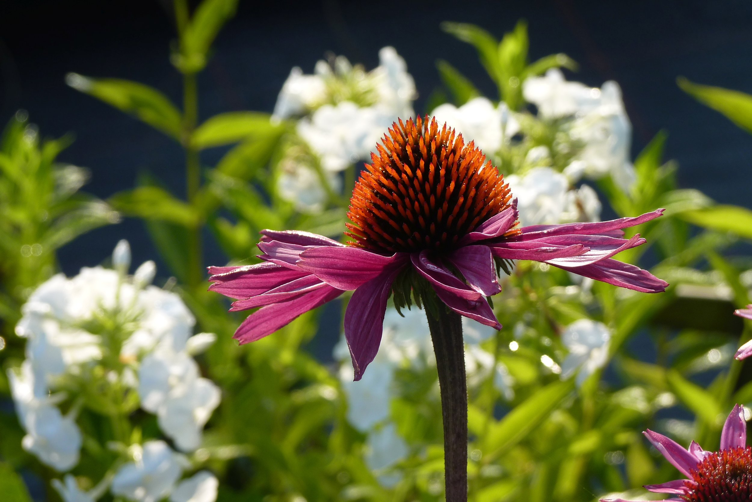 EchinaceaMagnus.jpg