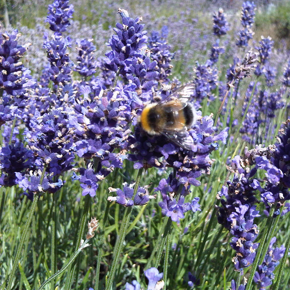 Locally grown lavendar for bees to forage