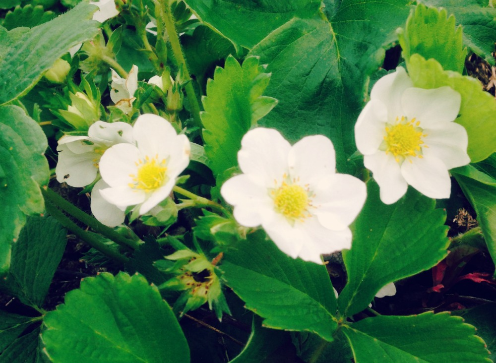 strawberry flowers opening up ... looking hopeful for a good crop this summer!