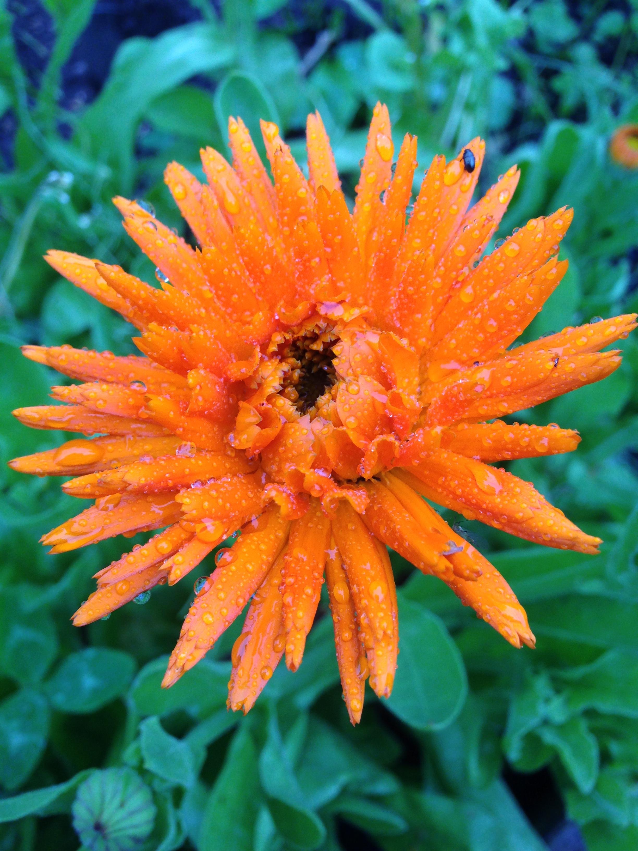 Edible Marigold - Calendula officinalis