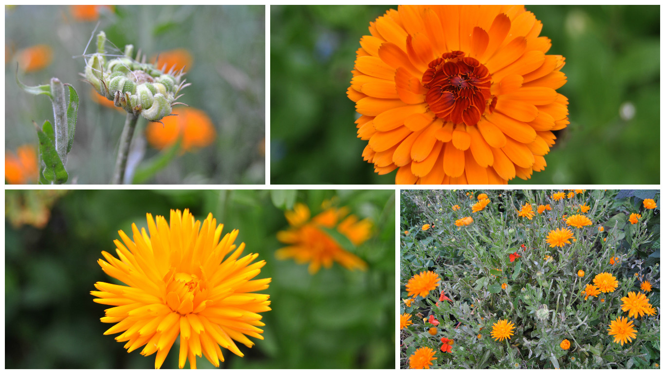 Marigolds from the Calendula genus at varoius stages of growth