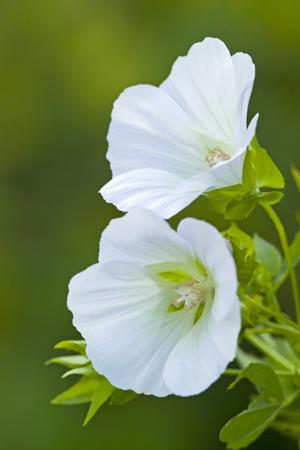 PJ taste grown white malope flowers