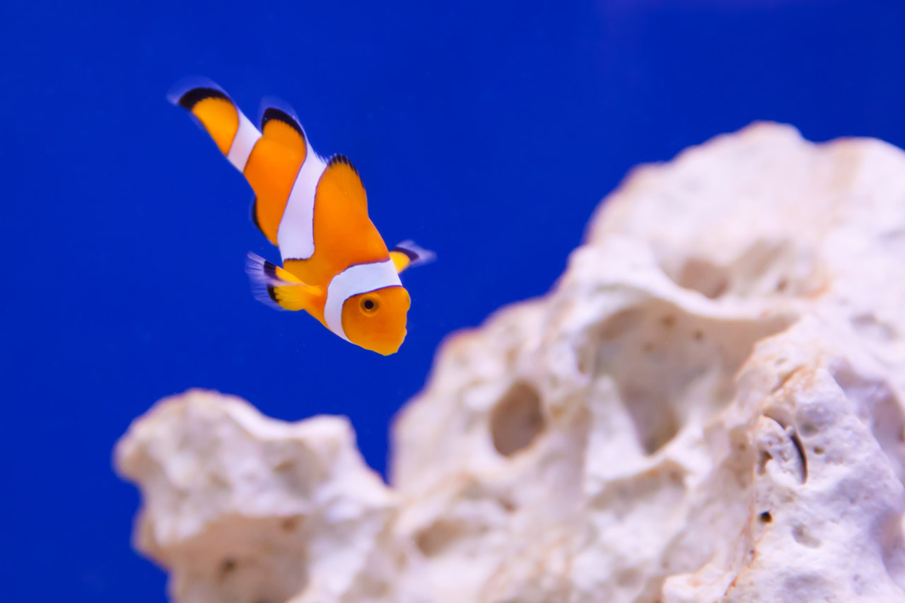 clownfish-dark blue.jpg