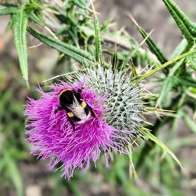 Two of our favourite things! Bees and thistles 😍😍 #scottishthistle #scottishbrand #thistle #bee #beesandflowers #thistleandbee #scottishsummer #madeinscotland #flowers #innature #myinspiration #inspiration #purpleflowers #designinspiration #designinspo #naturelovers