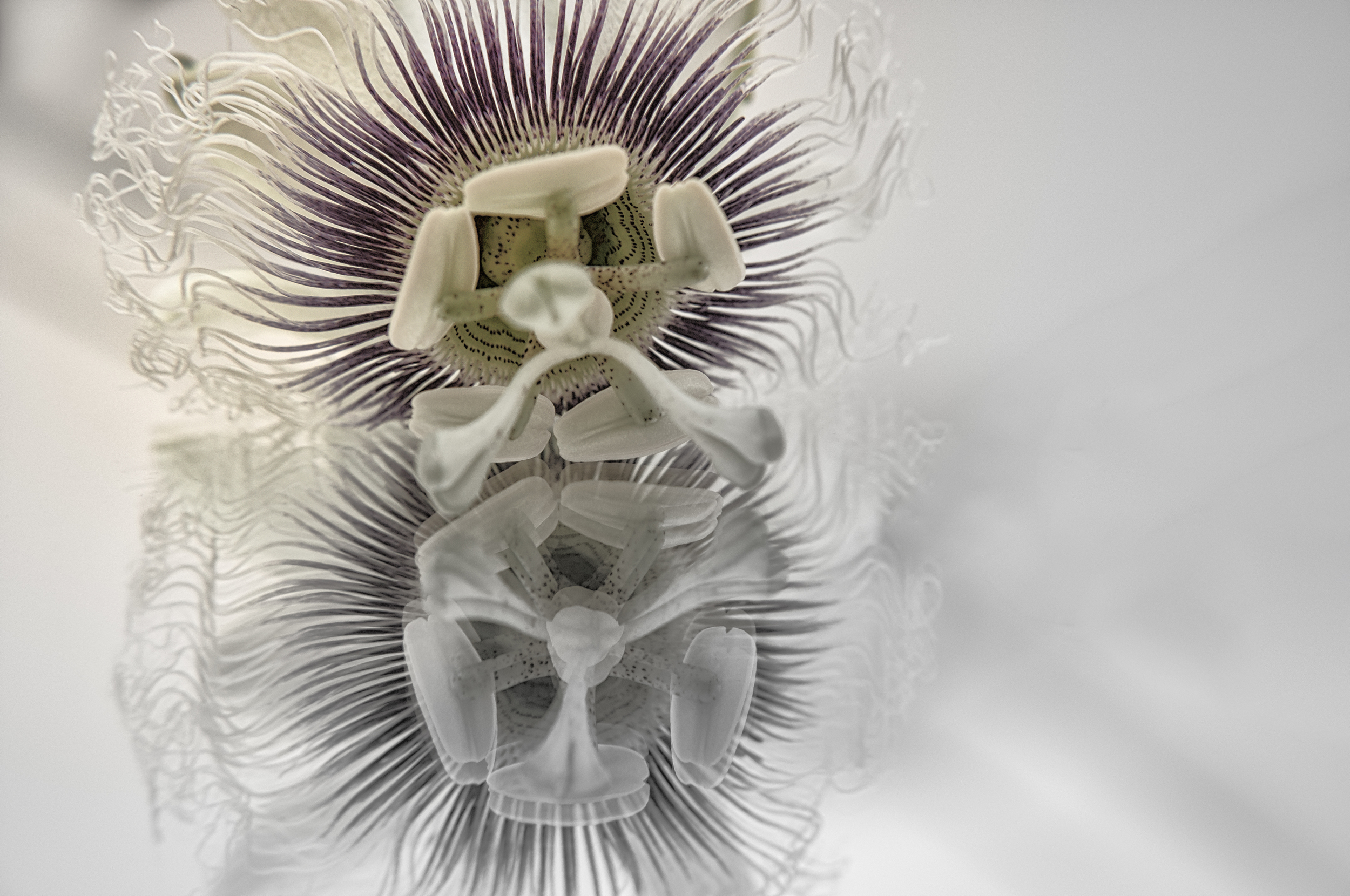 The kiss - A passion fruit flower reflected