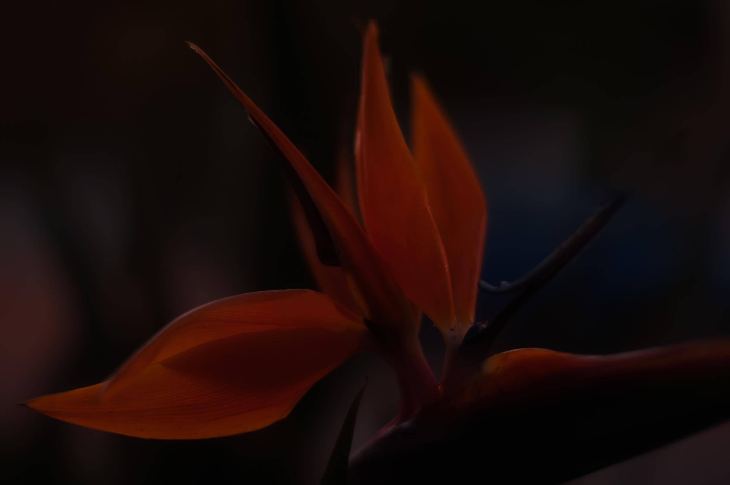 Radiating light - flower hotography