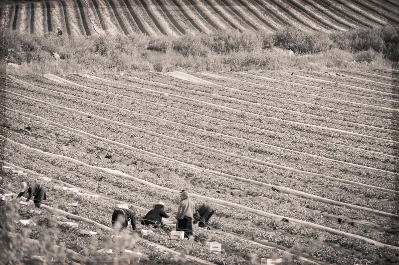 strawberry fields by Amy Kanka Valadarsky
