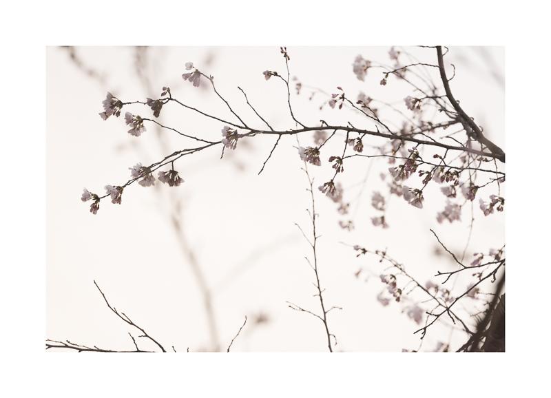 Sakura #1 (1031).jpg