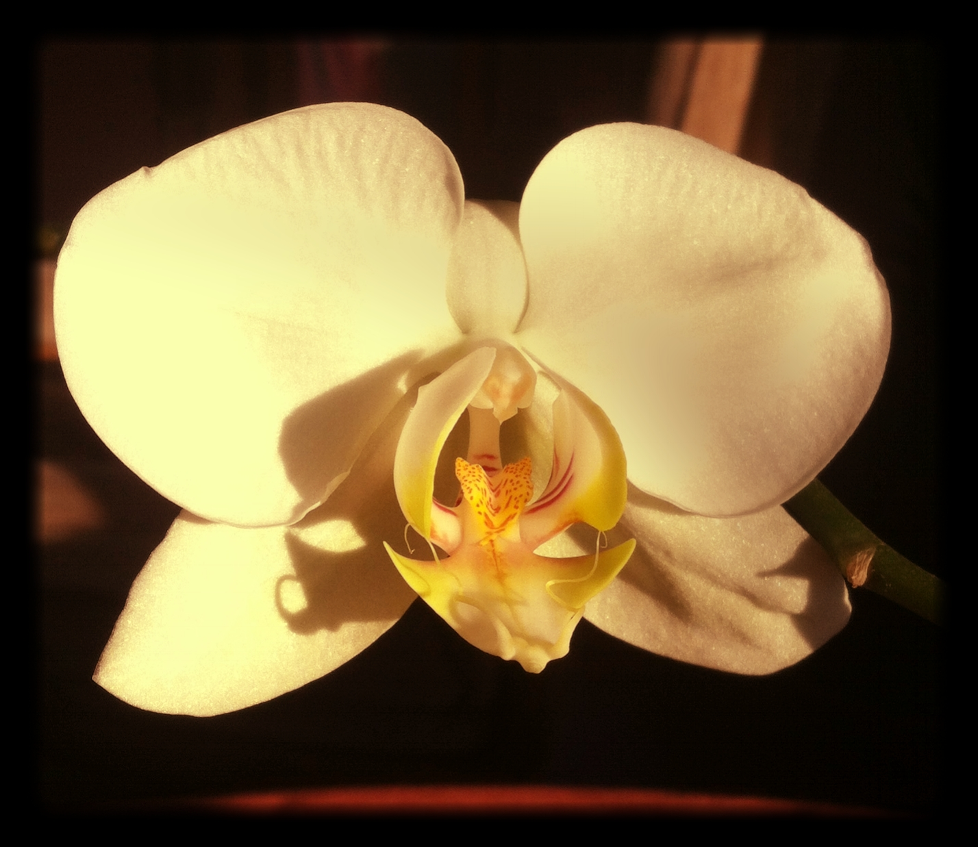 My_First_Orchid_Bloom